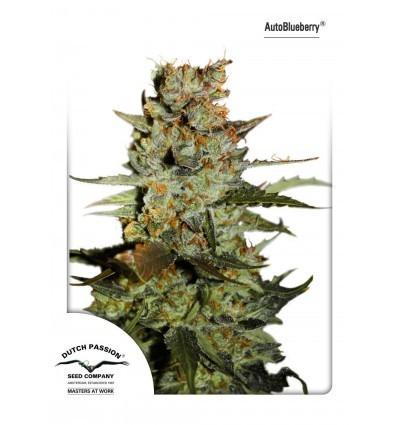 AutoBlueberry / Dutch Passion