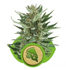 Royal Cheese Automatic / Royal Queen Seeds