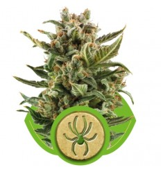 White Widow Automatic / Royal Queen Seeds