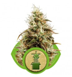 Royal Jack Automatic / Royal Queen Seeds