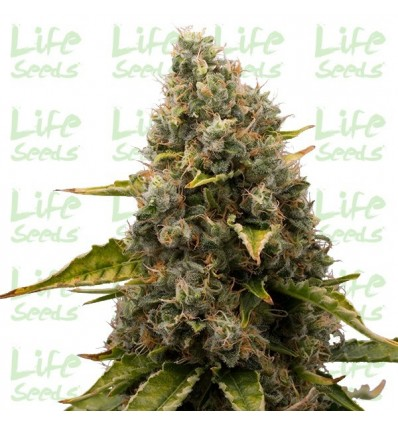 White Widow / Life Seeds