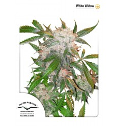 White Widow / Dutch Passion
