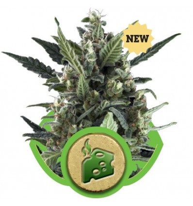 Blue Cheese Automatic / Royal Queen Seeds