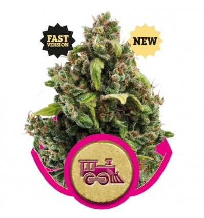 Candy Kush Express Fast / Royal Queen Seeds