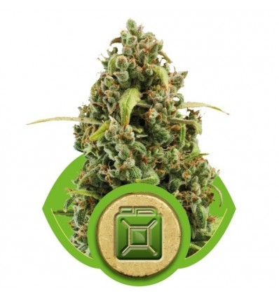 Diesel Automatic / Royal Queen Seeds