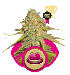 O.G. Kush / Royal Queen Seeds