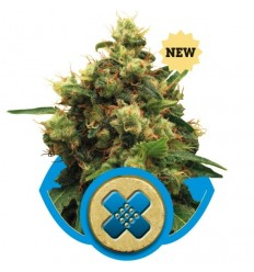 Painkiller XL / Royal Queen Seeds