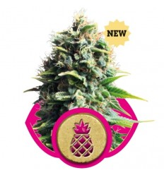 Pineapple Kush / Royal Queen Seeds
