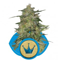 Royal Highness / Royal Queen Seeds