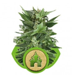 Royal Kush Automatic / Royal Queen Seeds