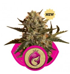 Royal Madre / Royal Queen Seeds