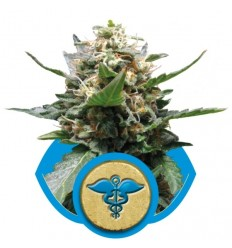 Royal Medic / Royal Queen Seeds