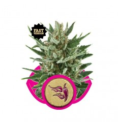 Speedy Chile Fast / Royal Queen Seeds