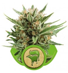 Sweet Skunk Automatic / Royal Queen Seeds