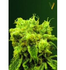 Blue Dream / Victory Seeds