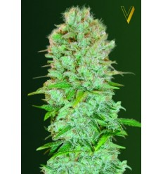 Critical / Victory Seeds