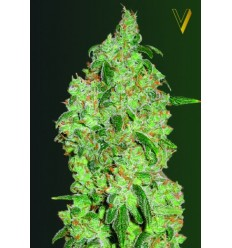 Great White Shark / Victory Seeds
