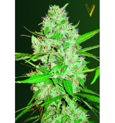 Auto White Russian XXL / Victory Seeds