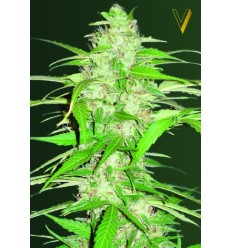 Auto Ultra Power Plant / Victory Seeds