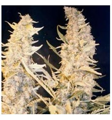 Skunk Special / Female Seeds