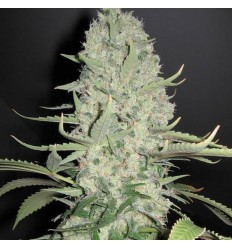 White Widow x Big Bud / Female Seeds