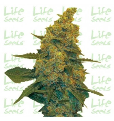 Auto Blue Dream / Life Seeds