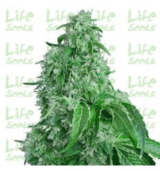 Auto Big Devil / Life Seeds