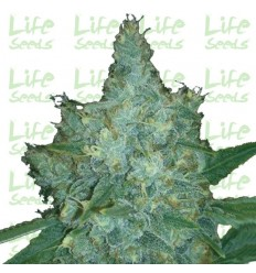 Auto Blueberry / Life Seeds