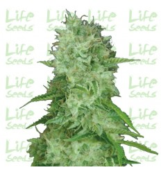 Auto Cheese / Life Seeds