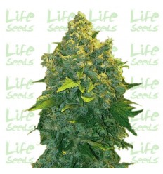 Auto Chronic / Life Seeds
