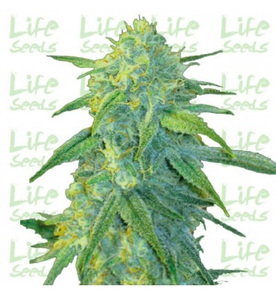 Auto Northern Light / Life Seeds
