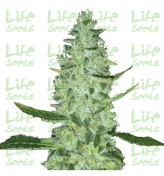 Auto Super Skunk / Life Seeds