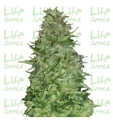 Auto White Russian / Life Seeds