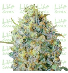 Big Bud / Life Seeds