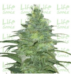 Blueberry / Life Seeds