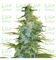 Northern Light / Life Seeds