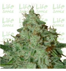 Lemon Skunk / Life Seeds