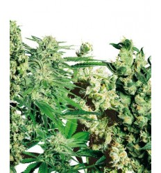 Feminized Mix / Sensi Seeds