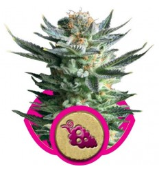Fruit Spirit / Royal Queen Seeds