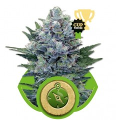 Northern Light Automatic / Royal Queen Seeds