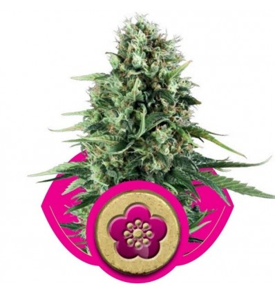 Power Flower / Royal Queen Seeds