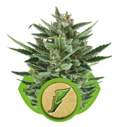 Quick One Automatic / Royal Queen Seeds