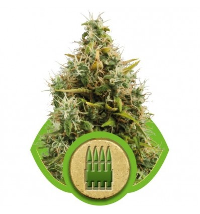 Royal AK Automatic / Royal Queen Seeds