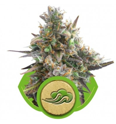 Royal Bluematic Automatic / Royal Queen Seeds