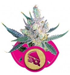 Royal Cheese Fast / Royal Queen Seeds
