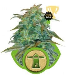 Royal Haze Automatic / Royal Queen Seeds
