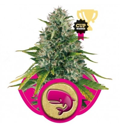 Royal Moby / Royal Queen Seeds