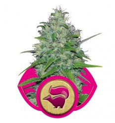 Skunk XL / Royal Queen Seeds