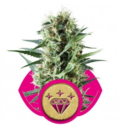 Special Kush 1 / Royal Queen Seeds