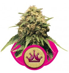 Special Queen 1 / Royal Queen Seeds